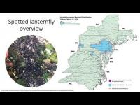 Preliminary Insights into Grapevine Ecophysiological Responses to Spotted Lanternfly Population Density in Pennsylvania